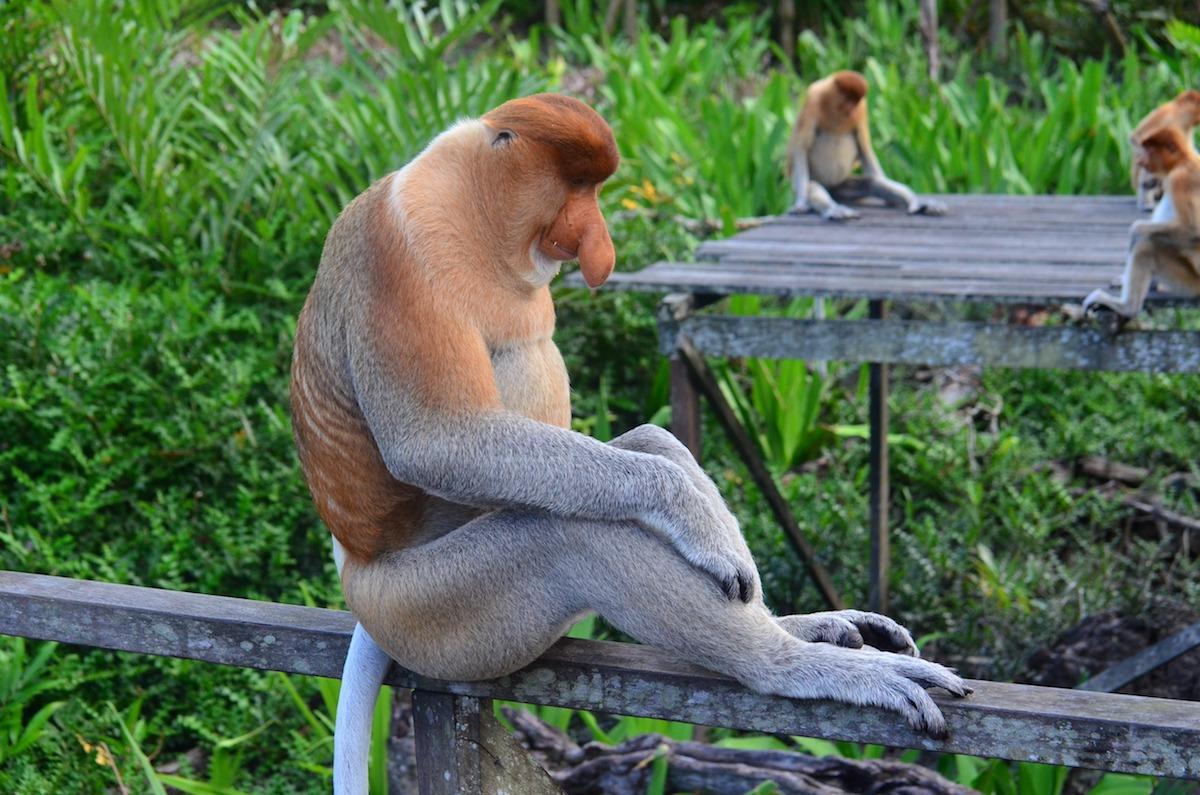 proboscis-monkey-proboscis-borneo-long-proboscis-monkey-63314